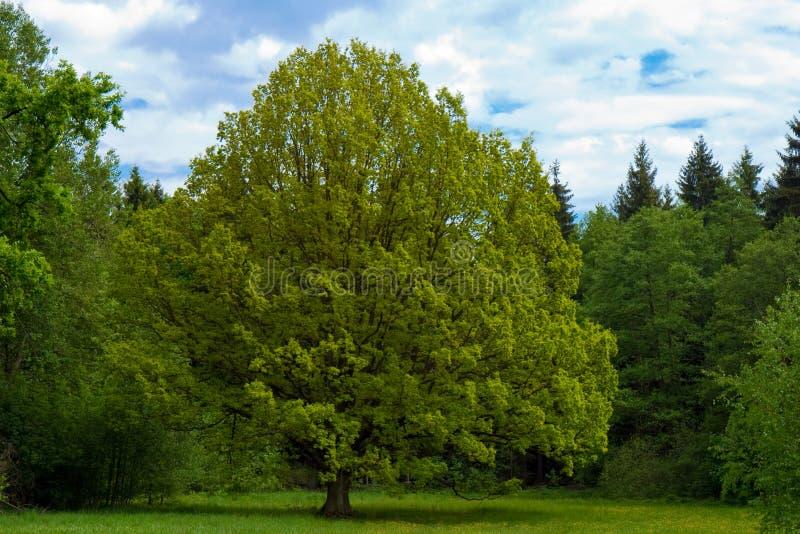 Lindeboom royalty-vrije stock afbeelding