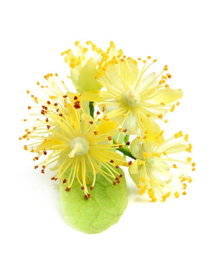 Linden blommar closeupen royaltyfria bilder