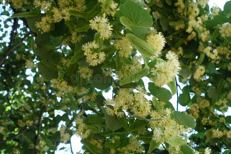 Linden blossom in early June. From below royalty free stock photo