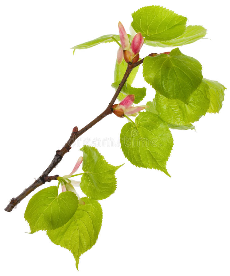 Linden Branch With New Leaves Stock Images