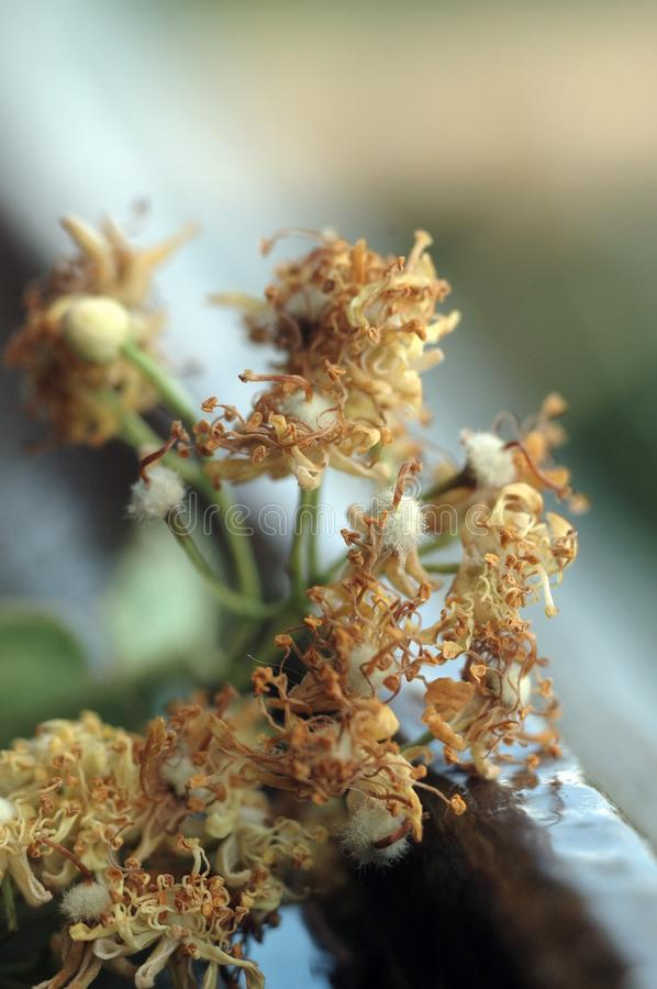 Linden color dried for medicinal purposes. Closeup. Shallow depth of field royalty free stock photos