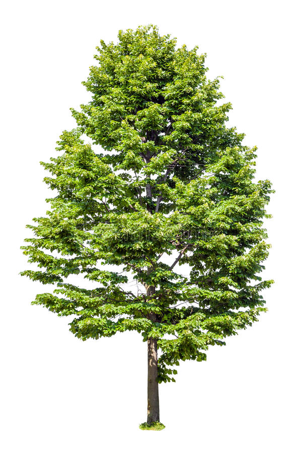 Linden da árvore decíduo isolado no branco imagem de stock