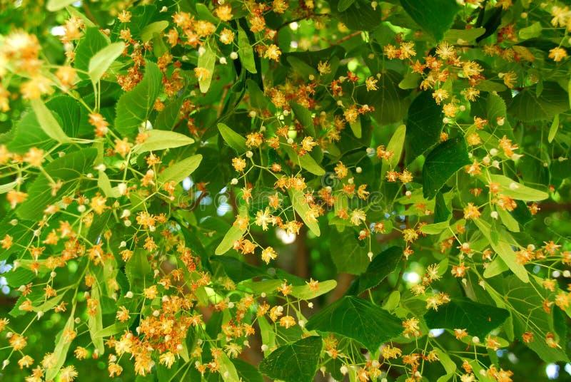 Linden de florescência imagem de stock