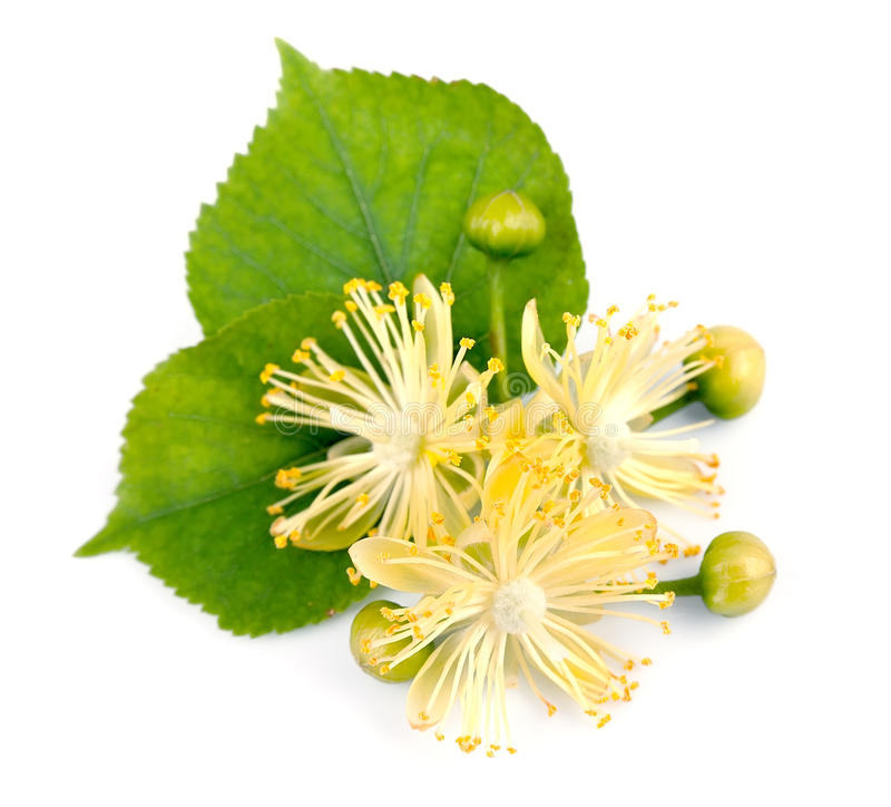 Free Linden Flowers Royalty Free Stock Image - 26983586