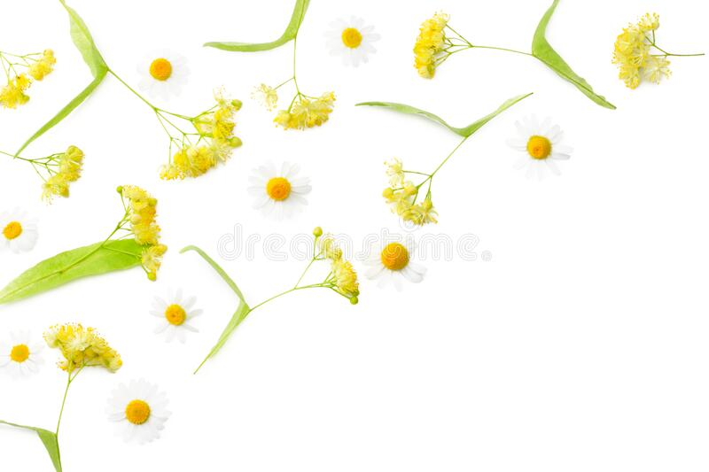 Linden flowers with chamomile isolated on a white background stock photos