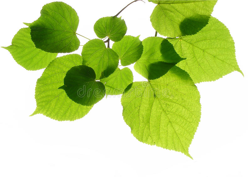 Linden (lime) leaves royalty free stock photo