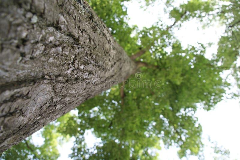 Linden Tree fotos de archivo