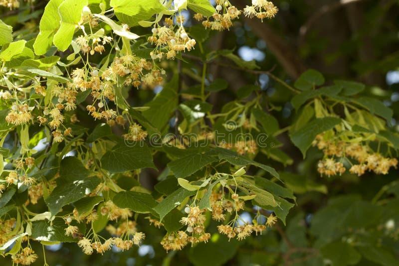 Linden Tree photos stock