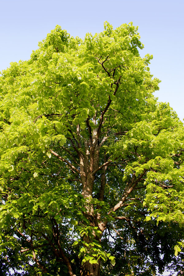 Linden Tree stock photos