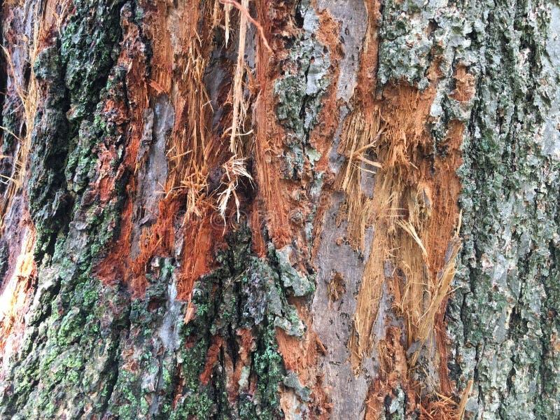 Linden Tree Bark stock images