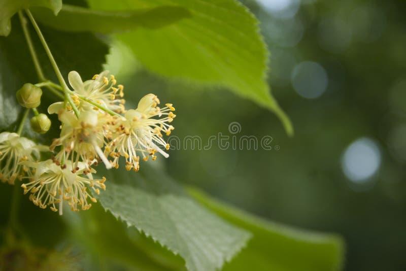 Linden Tree Flowers photographie stock