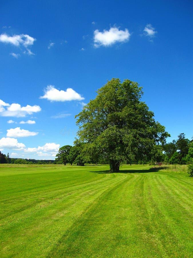 Linden Tree idoso no campo de golfe no castelo de Hoddom, Escócia foto de stock
