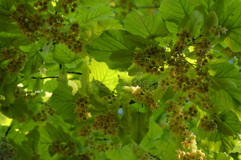 Linden Tree Leaves und Blüten stockbilder