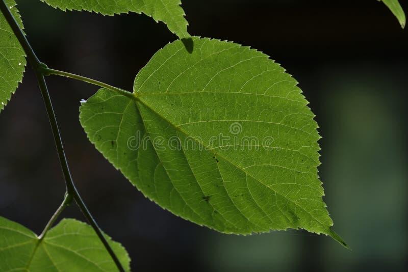 Linden tree leaf. Linden tree single leaf against dark fuzzy background, Podlasie Region, and, Europe royalty free stock photo