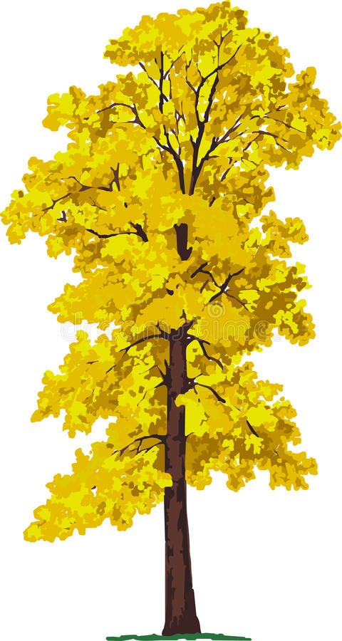 Linden tree. Vector stock photography