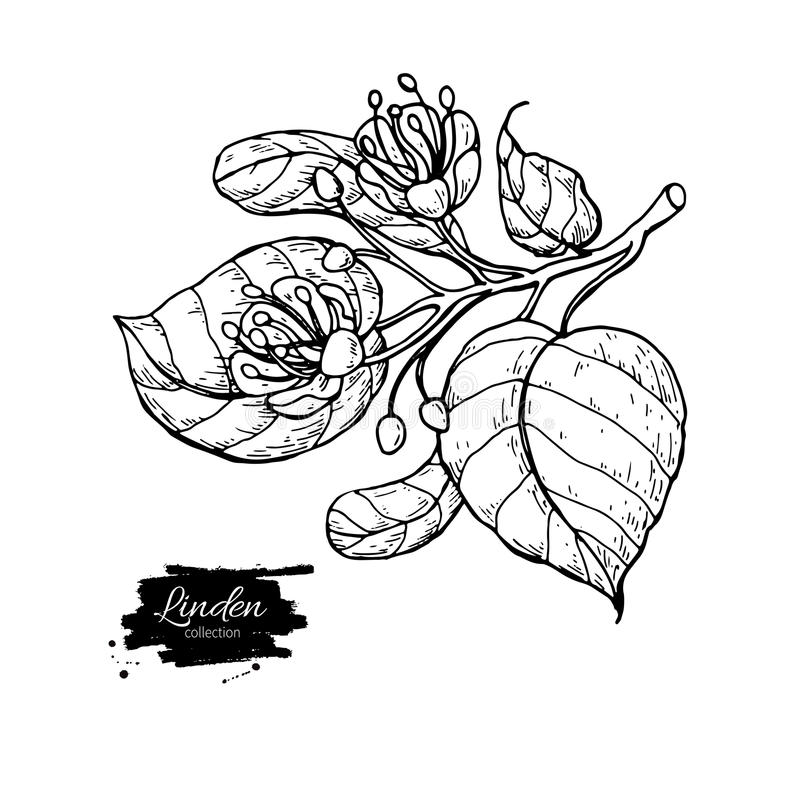 Linden vector drawing set. Isolated lime tree flower and leaves. Herbal engraved style illustration. Detailed botanical sketch for tea, organic cosmetic vector illustration