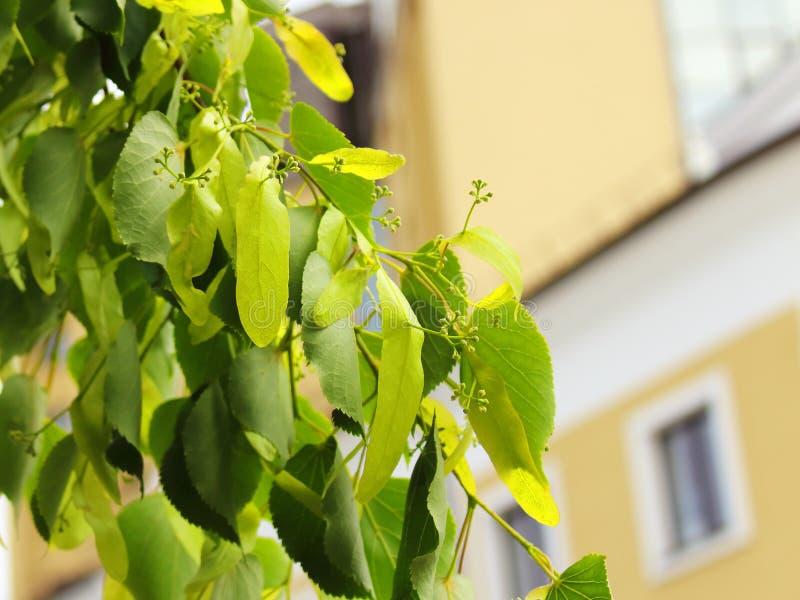 Lindenbaum-Grünblätter stockfoto
