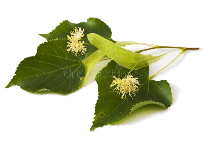 Lindenblatt mit Blumen lizenzfreie stockfotos