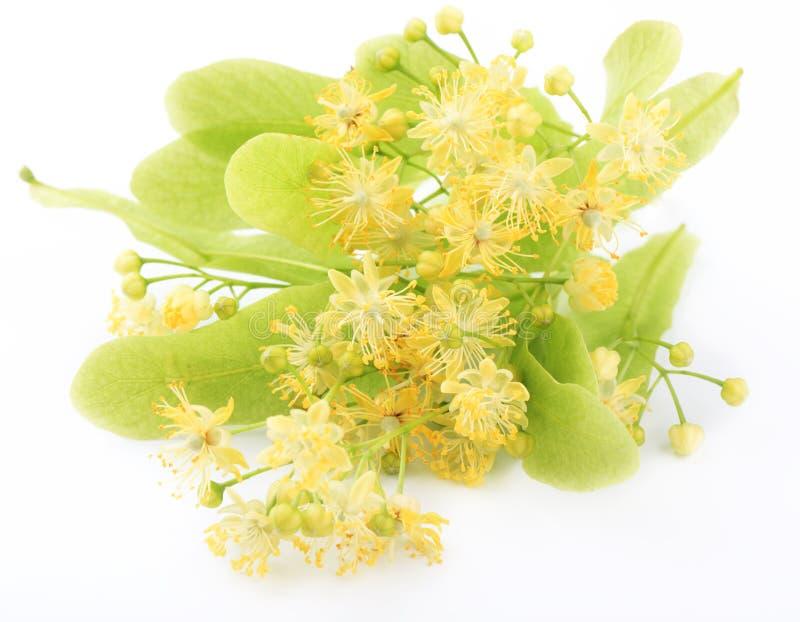 Lindenblumen lizenzfreies stockbild