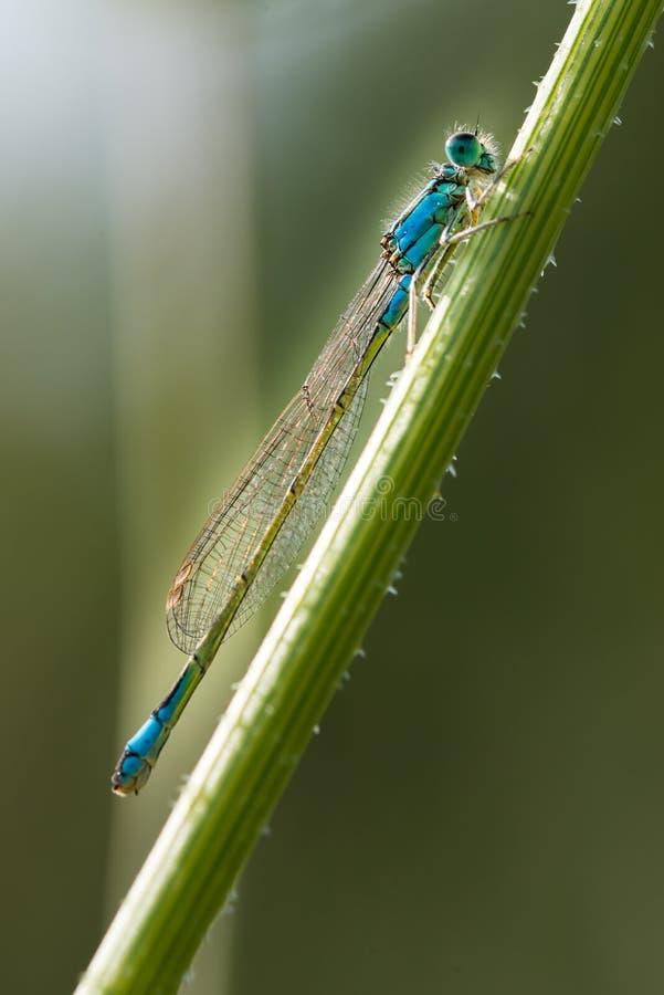 Lindenii Erythromma стоковое фото rf