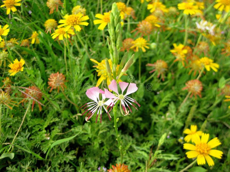 Lindheimeri d'Oenothera de Wildflower de Gaura de papillon photo stock