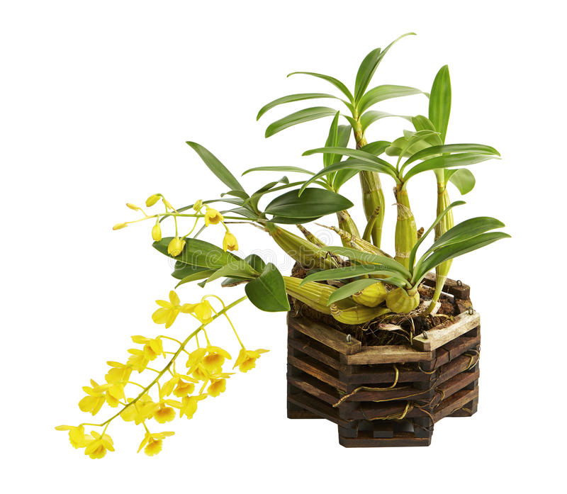 Lindleyi del Dendrobium, orquídeas amarillas salvajes con el pseudobulb y hojas en las cestas de madera de la orquídea, aisladas  fotos de archivo libres de regalías