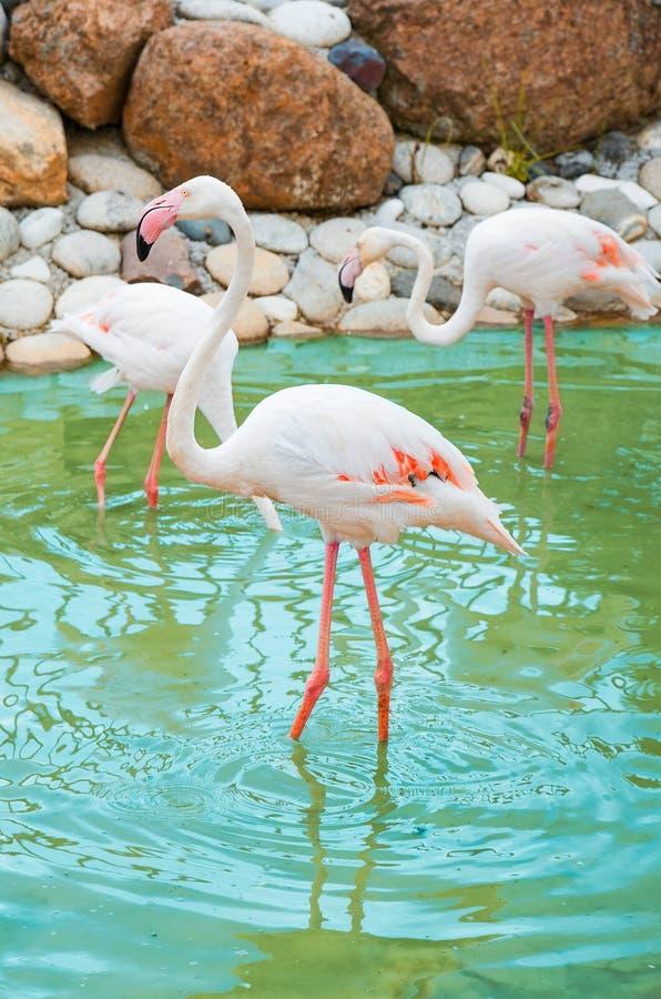 Lindos e grandes pássaros rosados caminham em um lago, de perto, conceito de amor fotografia de stock