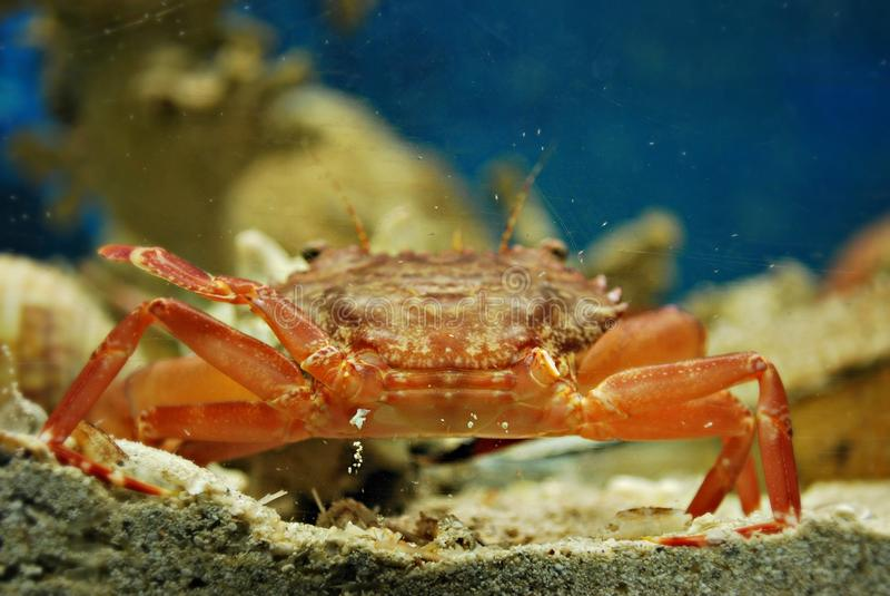 Lindos Grekland, Phodes öGrekland krabba royaltyfria bilder