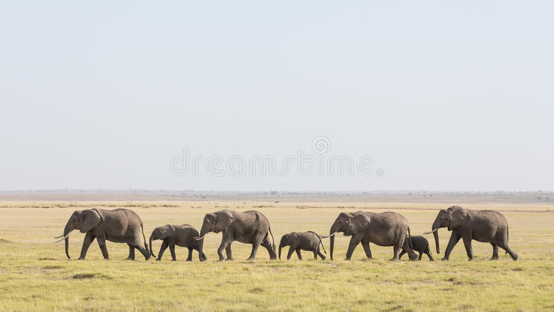 A line of African Elephants walking through Amboseli in Kenya. A line of African Elephants walking through Amboseli National Park in Kenya stock photography