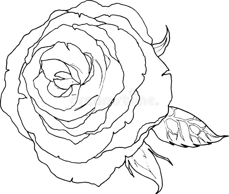 download line art drawing of a rose flower black and white color stock illustration image