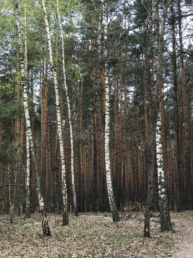 A line of beautiful spring birch trees in front of a blossoming forest. A birch is a thin-leaved deciduous hardwood tree of the genus Betula, in the family royalty free stock image