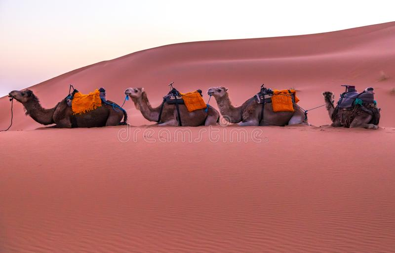 Camels in the Desert. A line of camels sit patiently on the sand in the Sahara Desert in Morocco royalty free stock photography