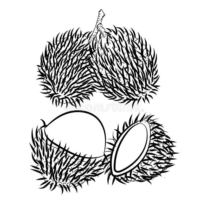 download line drawing of rambutan simple line vector stock vector illustration of nature