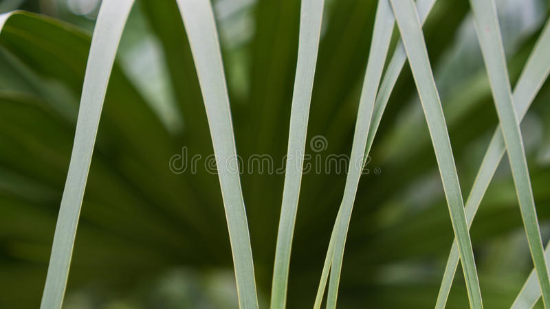 The Line of Fan Palm royalty free stock image