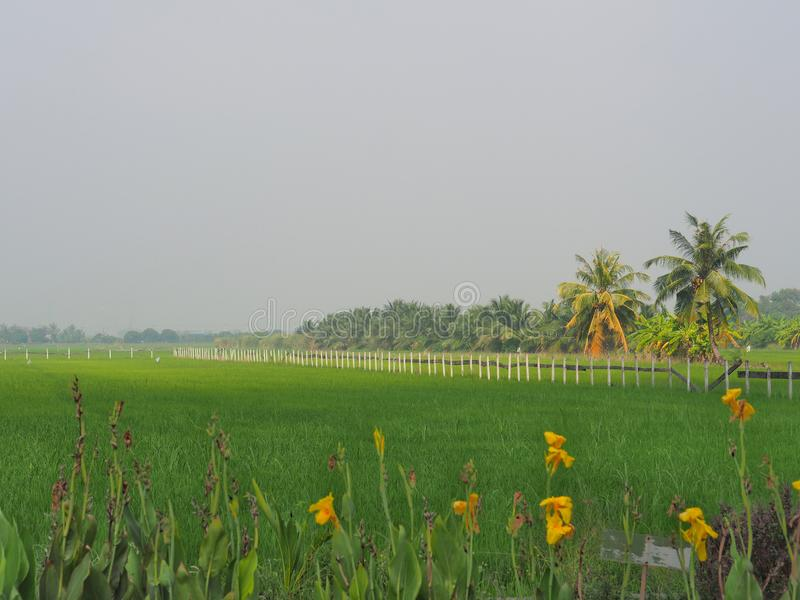 The line of fence in the rice field at Thai countryside, Morning light fog With the concept of rural life, nature, simplicity, ref. Reshing, beautiful, homeland royalty free stock photography
