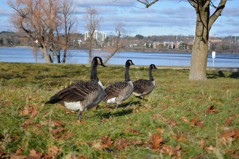 Line of geese stock photography