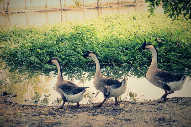 Line of goose stock images