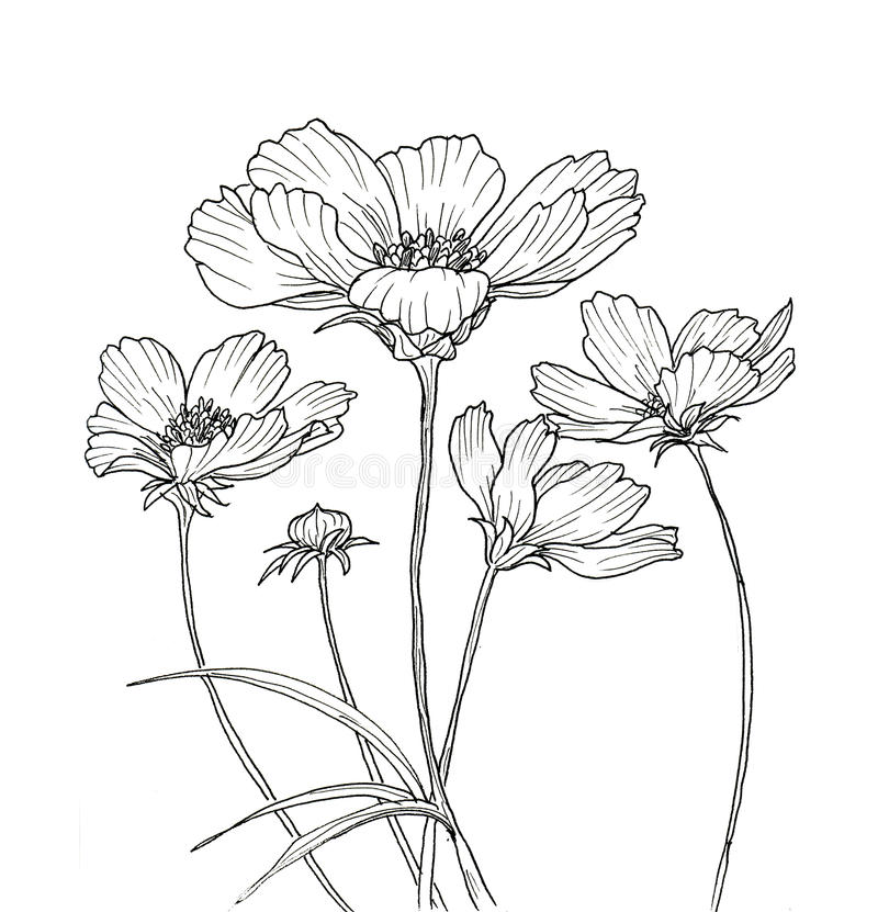 Anemone Flower Line Drawing : Line ink drawing of cosmos flower stock illustration