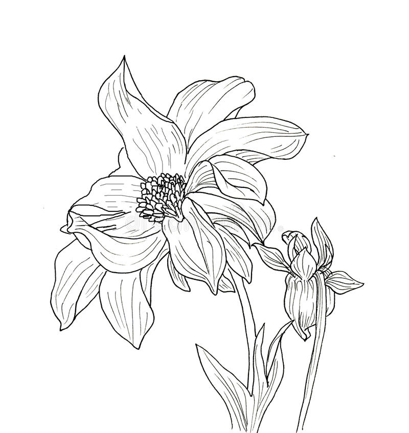 Dahlia Flower Line Drawing : Line ink drawing of dahlia flower stock illustration