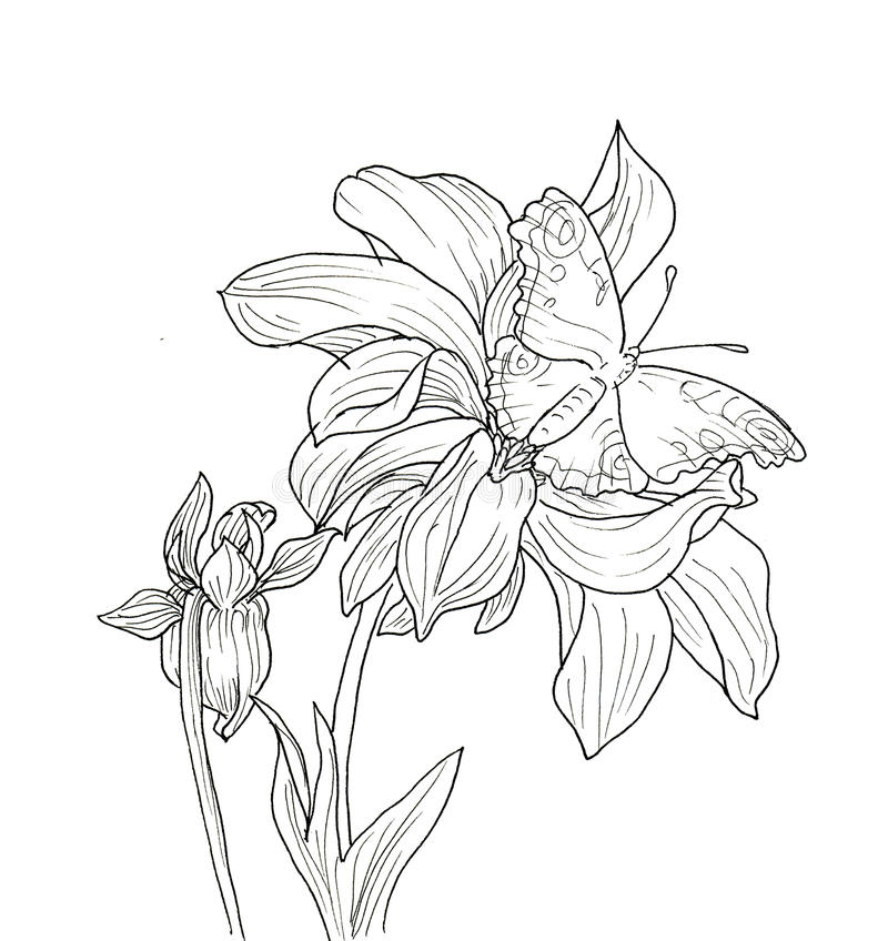 Contour Line Drawing Butterfly : Line ink drawing of dahlia flower stock illustration