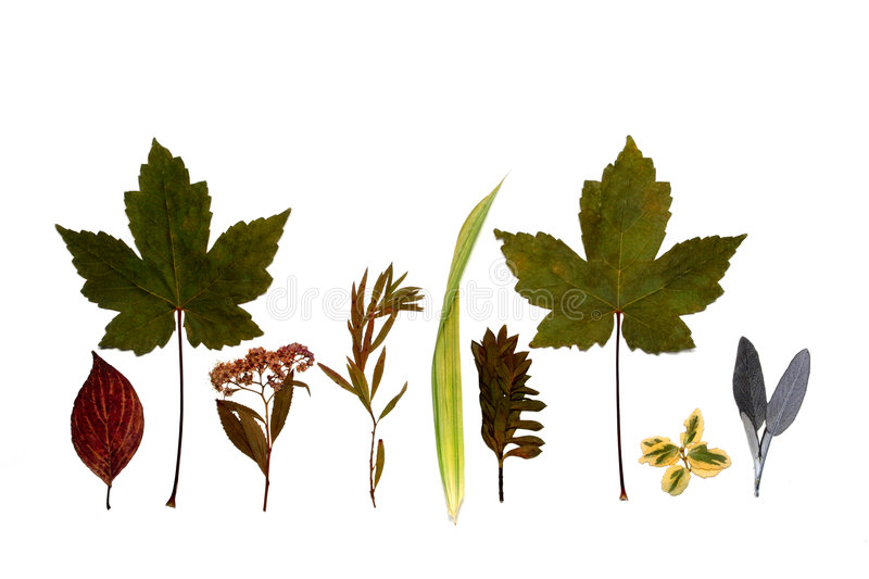 Line of Leaves. Line of different dried leaves herbs and flowers of Autumn against a white background royalty free stock images