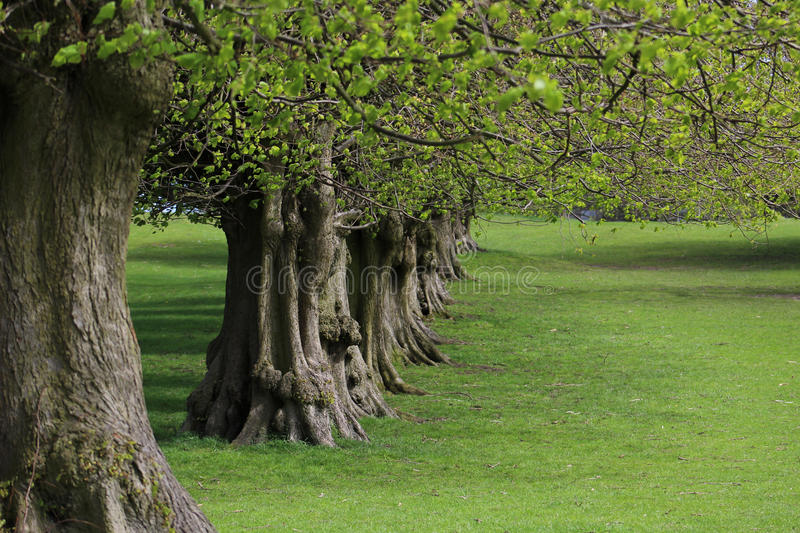 A Line of Lime Trees. A line (or avenue) of lime trees. Tilia x europaea stock photos
