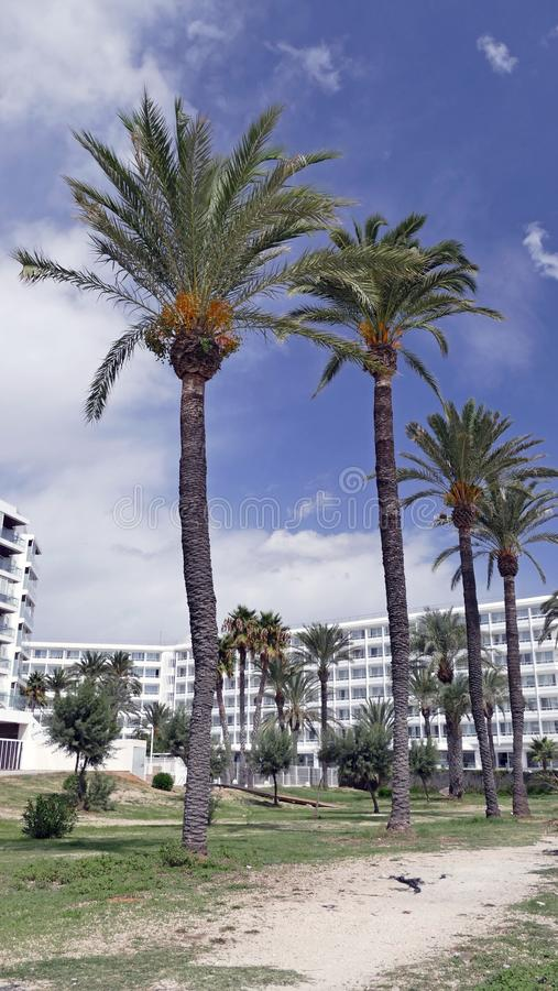 Line of palmtrees along the beach of playa en bossa. Here you can see the frontline with alln the appartments around the beach of playe en bossa on the island royalty free stock photos