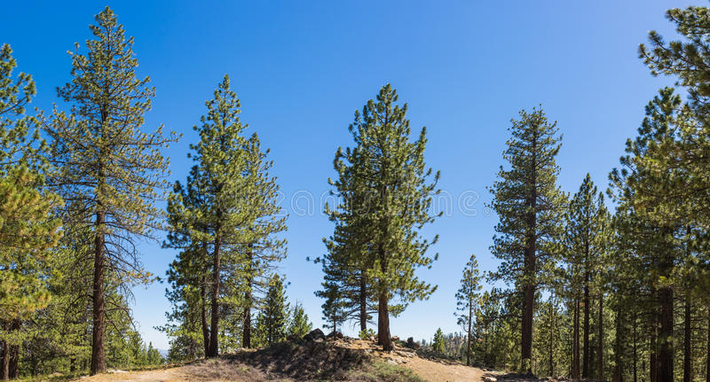 Line of Pine Trees royalty free stock image
