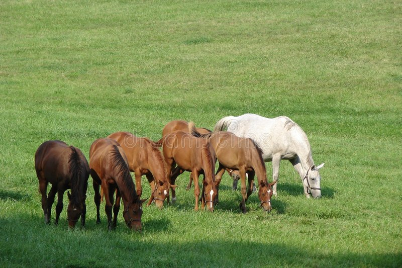 Line Of Thoroughbred Race Horses Feeding On Meadow Stock Image
