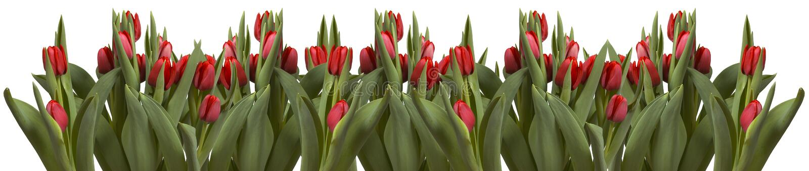 Line of tulips on white