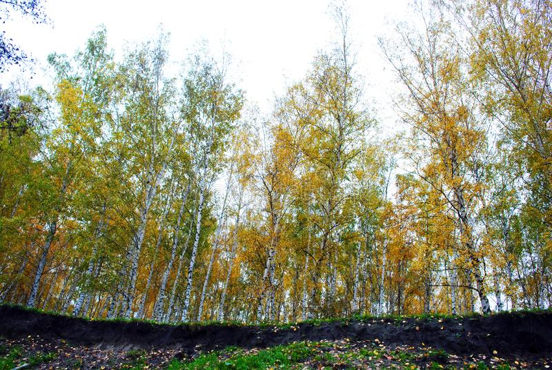 Line of yellow birches forest on the edge of the ravine, view from ground stock photo