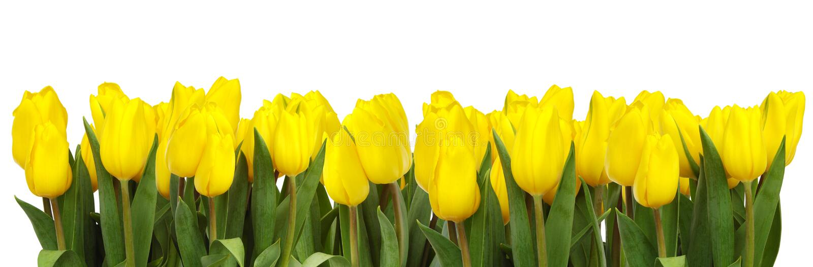 Line of yellow tulips royalty free stock images