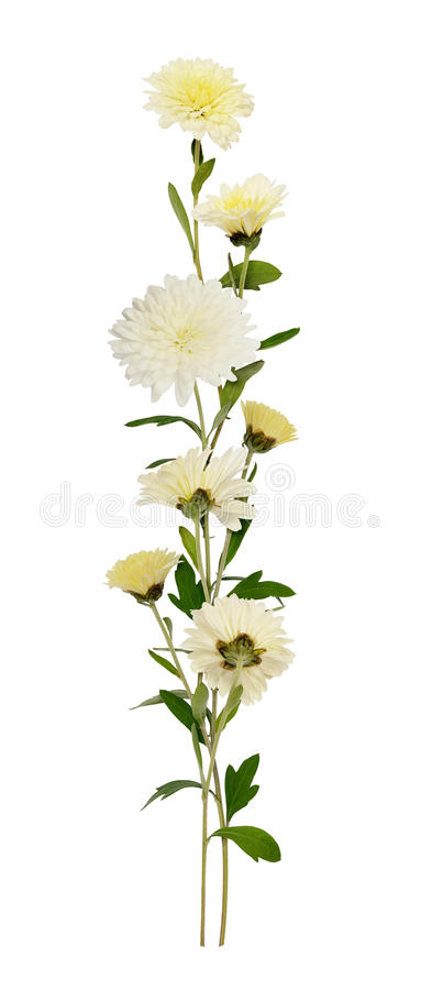 Linea bianca disposizione dei fiori e dei germogli del crisantemo immagine stock