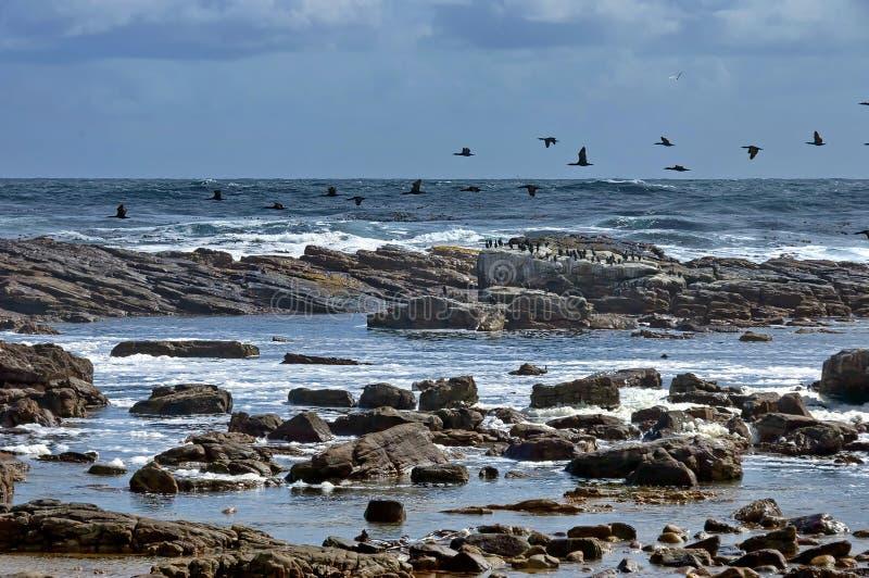 Linea costiera dell'Oceano Atlantico. Volo del cormorano del capo. immagine stock